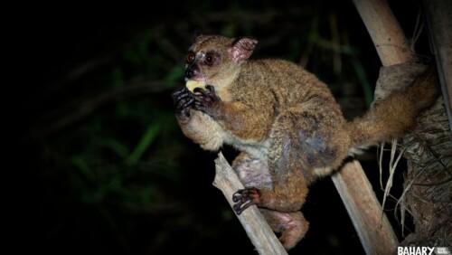 Greater Galago Monkey Udzungwa National Park