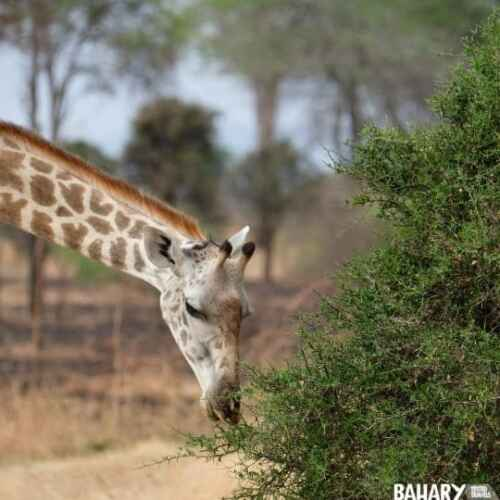 Mikumi National Park animals giraffe