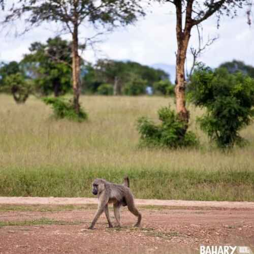 Mikumi National Park animals monkeys