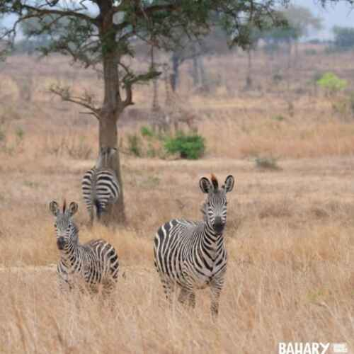 Mikumi National Park animals zebras