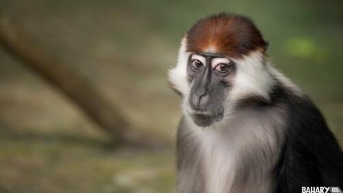 Sanje Mangabey Monkey Udzungwa National Park