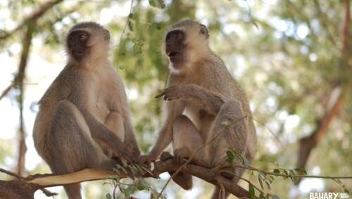 Sykes Monkey Udzungwa National Park