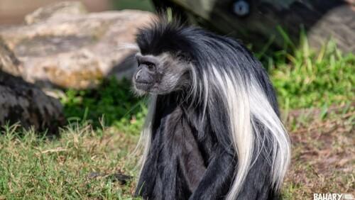 Udzungwa Colobus Monkey (1)