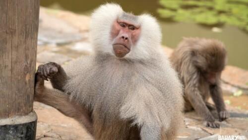 Yellow Baboon Monkey Udzungwa National Park